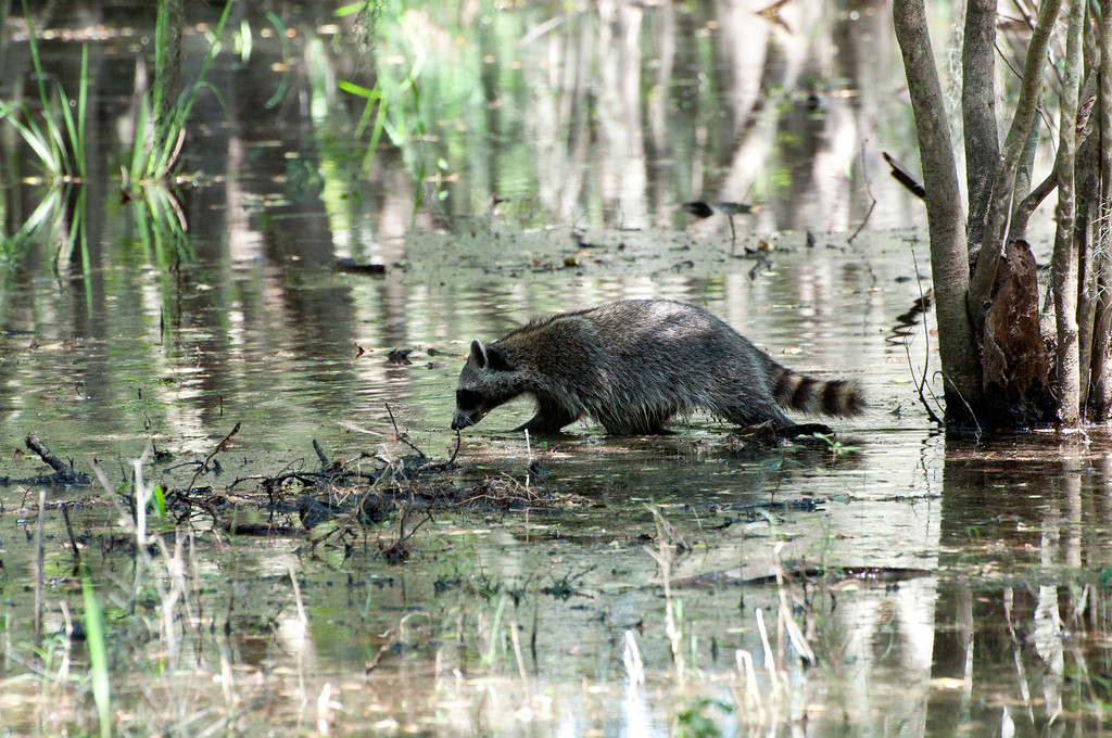 This raccoon is navigating a flooded section of the state park. It's not that deep, just annoying if you're trying to stay dry.