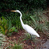 Egret at Mayo Clinic