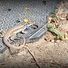 Cuban Gecko