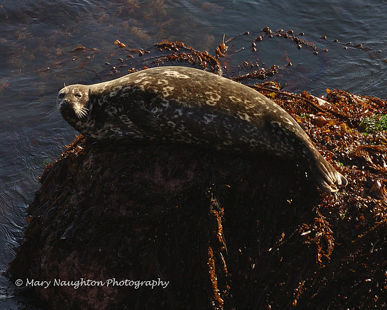 Seal, Point Lobos Reserve, Carmel, CA