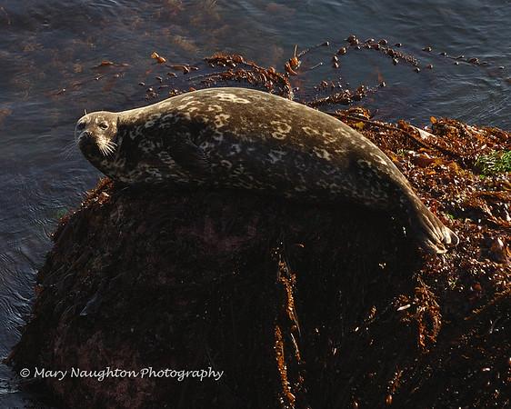 Seal, Point Lobos Reserve, Carmel, CA