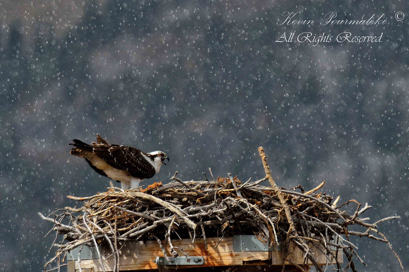 Osprey. Grand Teton National Park.
