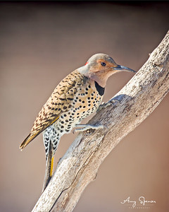 Yellow Shafted Nornthern Flicker