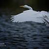 Great Egret. Everglades National Park, South Florida.