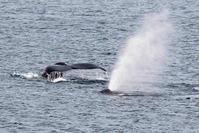 Humpack whale fluke and spray