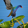 Purple Gallinule. Everglades Park. South Florida.