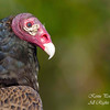 Turkey Vulture. Everglades National Park, South Florida