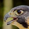 Perrigrine Falcon Headshot