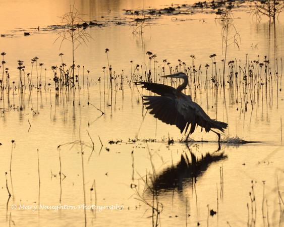 Great Blue Heron landing, SNWR, SC