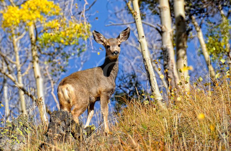 Mule Deer near Ouray Colorado