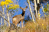 Mule Deer near Ouray Colorado