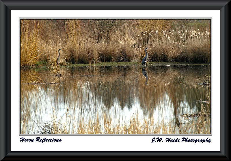 Heron Reflections -  Reflections of great blue herons in small pond at Cook Park in Tigard Oregon