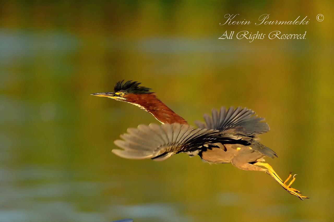 Green Heron. Everglades Holiday Park,  South Florida.