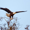 Eagle Take-Off, Harns Marsh, FL