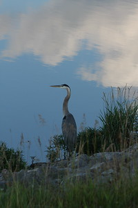 Blue Heron at Loch Lloyd Lake.