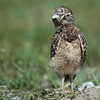 Burrowing Owl Chick.  South Florida.