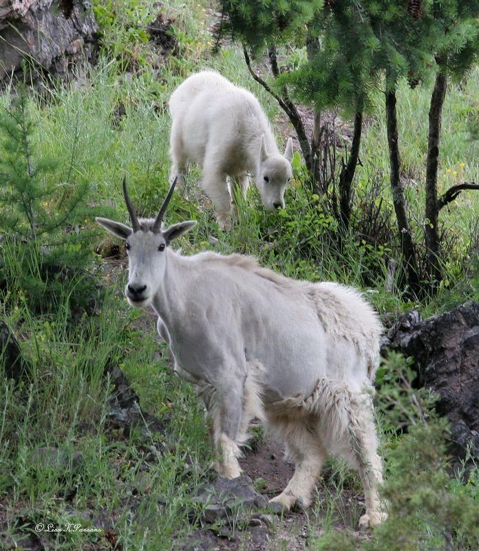 Montana Mountain Goat & Kid  by Paw Prints Nature & Wildlife Photography