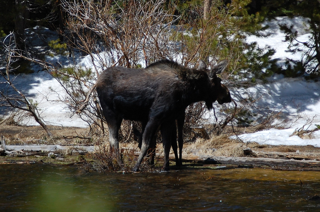 "Picture two in the moose series. You can really see the ""moose like"" features of the hump back, the ears, and the snout. The extra legs are the baby."