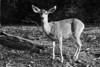 Deer Chewing in Yosemite - Black and White