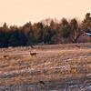 Deer with Barn