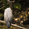 Beautiful Great Blue Heron standing on log