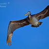 Brown Pelican.  Everglades National Park.