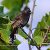 Red Vented Bulbul, Hawaii