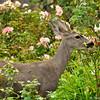 A young male Mule Deer raiding the rose garden! He was enjoying those young rose buds!