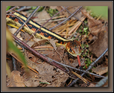 Possibly a Western Red Sided Garter Snake.  @ Richmond Nature Park
