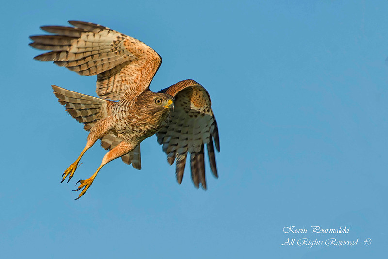 Red Tailed Hawk.  Everglades National Park, South Florida.