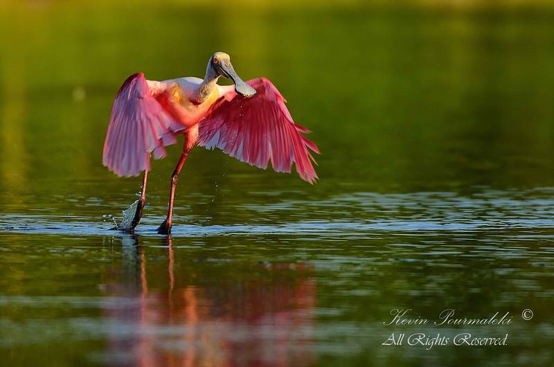 Spoonbill.  Everglades National Park, South Florida.