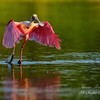 Spoonbill.  Everglades National Park, South Florida.