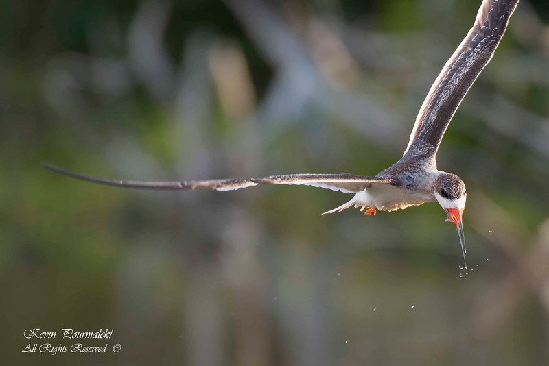 Black Skimmer devouring a fish . Everglades National Park, South Florida.