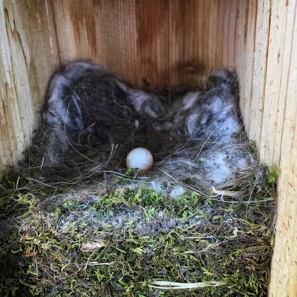 Chickadee nest immeditaly after fledging.