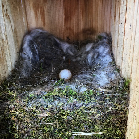 Chickadee nest immeditaly after fledging.