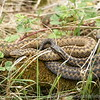 male and female Adders (male is the lighter of the two) Britains only poisonous snake