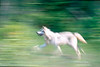 Wolf In Motion