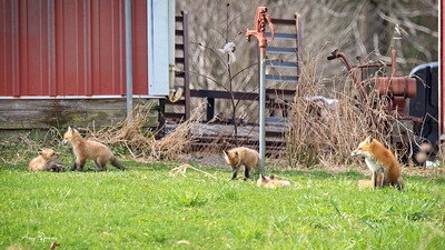 Four Red Fox pups with their mother