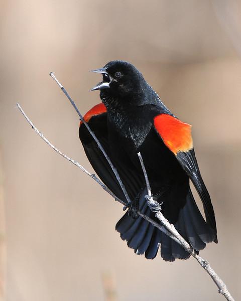 Redwing Blackbird 01