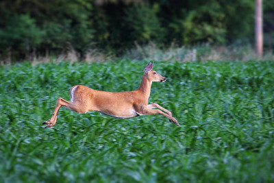 White-tailed deer in cornfield