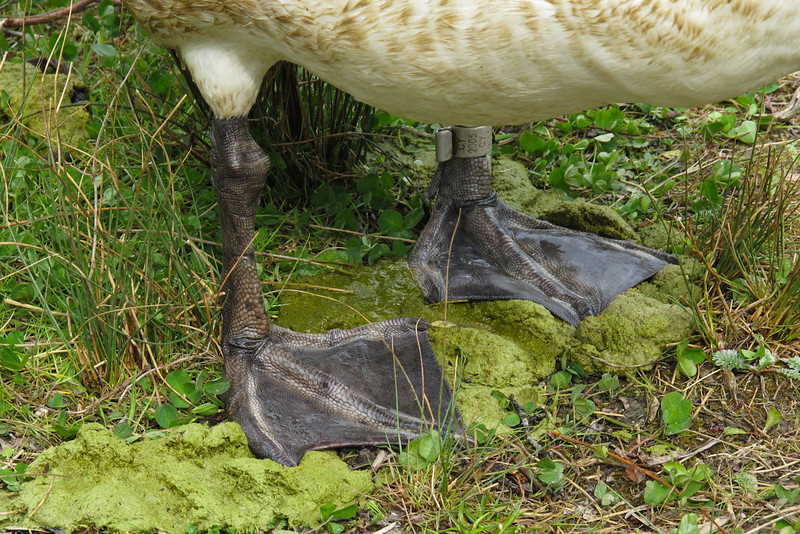 The webbed feet of the swan