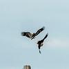 Eagle fight...juvenile and adult