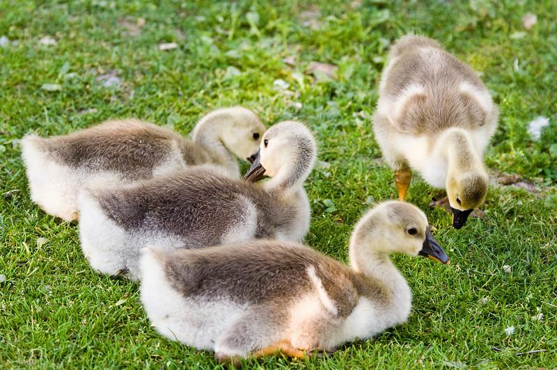 Group of goslings