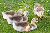 Group of goslings