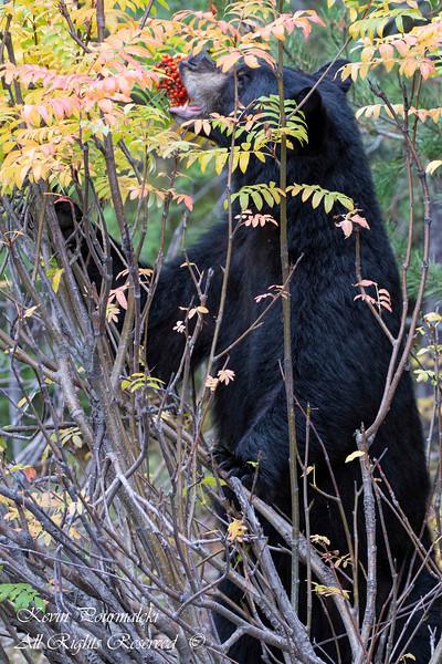 Black Bear.  Grand Teton National Park, Wyoming.