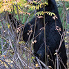 Black Bear.  Grand Teton National Park, Wyoming.