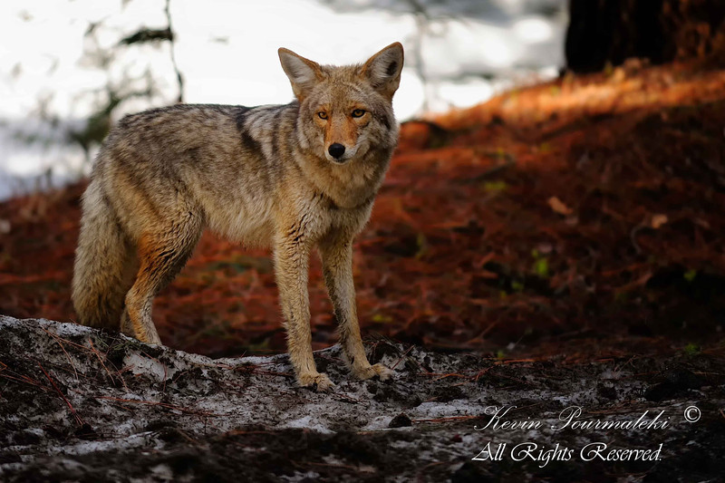 Coyote, Yosemite National Park.