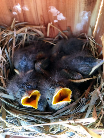 Five, eight day old baby bluebirds