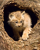 Canada Lynx kitten explores a log.