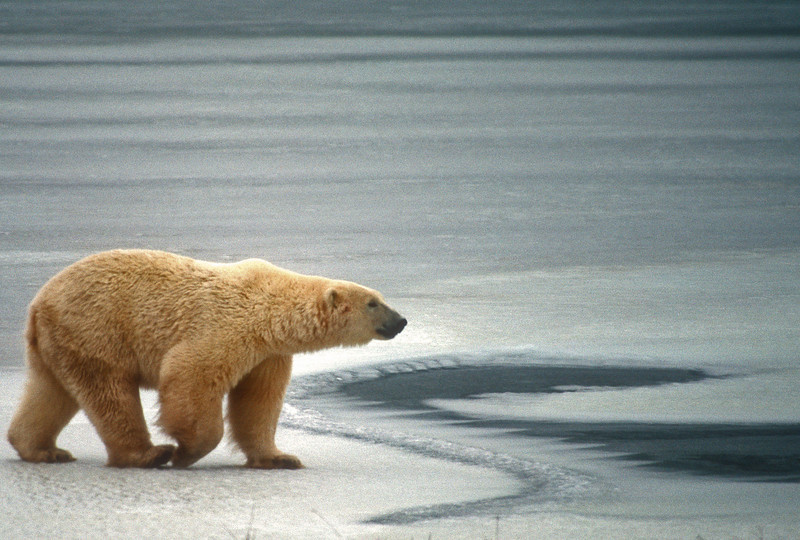 Polar bear strolls on ice